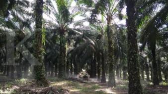 Sawit Sumbermas Sarana (SSMS) investasikan Rp 20 miliar untuk konservasi hutan